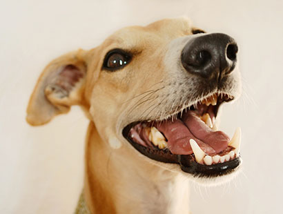 Dog with smiling teeth